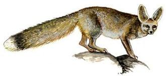 южноафpиканская лисица, кама, серебристая лисица (Vulpes chama), фото, фотография