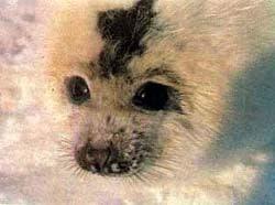 гренландский тюлень (Phoca groenlandica), фото, тюлень гренландский, фотография