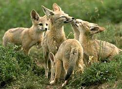 корсак, степная лисица (Vulpes corsac), фото, фотография