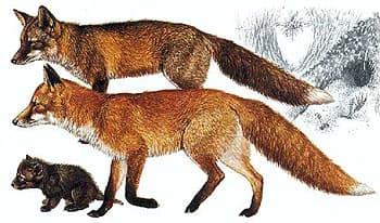 обыкновенная лисица, рыжая лисица, лиса (Vulpes vulpes), фото, фотография