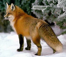 Лиса обыкновенная лисица рыжая vulpes vulpes поведение лисицы  обыкновенная лисица рыжая лисица лиса vulpes vulpes фото фотография