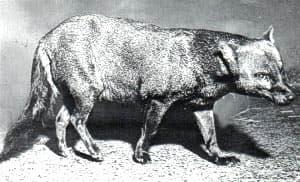 лисица малая, черная лисица, короткоухий зорро (Dusicyon (Atelocynus) microtis), фото, фотография
