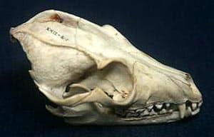 череп большеухой лисицы (Otocyon megalotis), фото, фотография