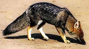 зорро Азара (Pseudalopex gymnocercus), фото, фотография