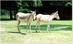 кулан (Equus hemionus), фото, фотография