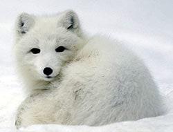 песец, полярная лисица, командорский голубой песец, медновский голубой песец (Alopex lagopus), фото, фотография