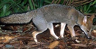 седой зорро, бразильская лиса (Dusicyon (= Pseudalopex) vetulus), фото, фотография
