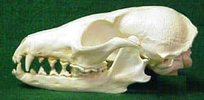 череп островной лисицы (Urocyon littoralis), фото, фотография