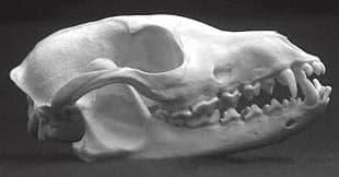череп южноамеpиканского майконга, лисицы саванной, череп лесной лисицы (Dusicyon (= Cerdocyon) thous), фото, фотография