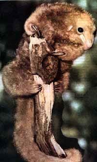 карликовый муравьед, муравьед карликовый (Cyclopes didactylus), фото, фотография