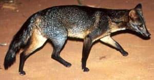 южноамеpиканский майконг, лисица саванная, лесная лисица, собака-крабоед (Dusicyon (= Cerdocyon) thous), фото, фотография
