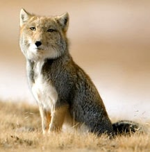 тибетская лисица (Vulpes ferrilata), фото, фотография