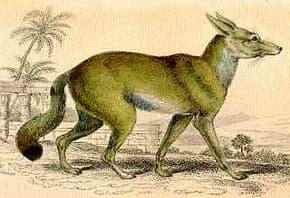 африканская лисица (Vulpes pallida), фото, фотография