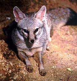 индийская лисица, бенгальская лиса (Vulpes bengalensis), фото, фотография