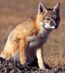 американская лисица, американский корсак (Vulpes velox), фото, фотография