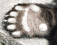 лапа большой панды, гигантской панды (Ailuropoda melanoleuca), фото, фотография