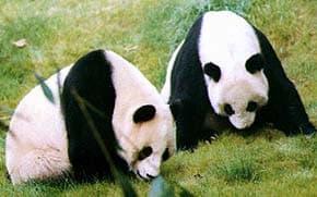 большая панда, гигантская панда, бамбуковый медведь (Ailuropoda melanoleuca), фото, фотография