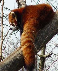 Красная панда малая панда ailurus fulgens поведение панды  красная панда малая панда ailurus fulgens фото фотография