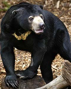 солнечный медведь, малайский медведь, бируанг, медовый медведь (Helarctos malayanus), фото, фотография