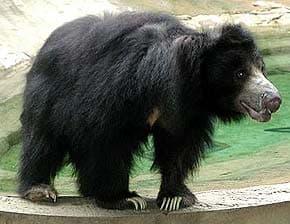 медведь-губач, медведь-ленивец, медведь-муравьед (Melursus ursinus), фото, фотография