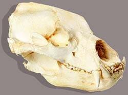 череп медведя-губача, медведя-муравьеда (Melursus ursinus), фото, фотография