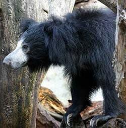медведь-муравьед, медведь-губач, медведь-ленивец (Melursus ursinus), фото, фотография