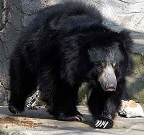 медведь-ленивец, медведь-губач, медведь-муравьед (Melursus ursinus), фото, фотография