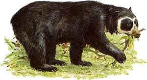очковый медведь, коротколицый медведь (Tremarctos ornatus), фото, фотография