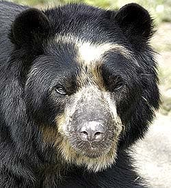 очковый медведь (Tremarctos ornatus), фото, фотография
