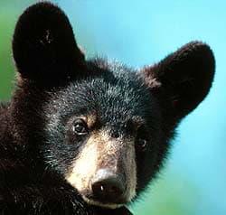 черный медведь, барибал (Euarctos americanus), фото, фотография