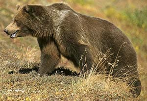 бурый медведь, гризли (Ursus arctos), фото, фотография