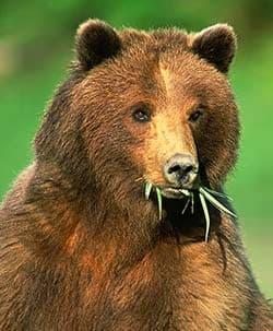 бурый медведь, бурый североамериканский медведь (Ursus arctos), фото, фотография