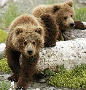 бурый медведь (Ursus arctos), фото, фотография