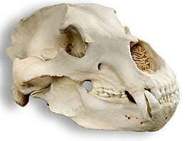 череп бурого медведя, череп гризли (Ursus arctos), фото, фотография