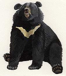 белогрудый медведь, черный тибетский медведь, уссурийский медведь (Ursus thibetanus), фото, фотография