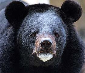 черный азиатский медведь, черный гималайский медведь, лунный медведь (Ursus thibetanus), фото, фотография