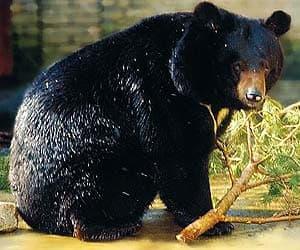 белогрудый медведь, черный тибетский медведь, черный гималайский медведь, лунный медведь (Ursus thibetanus), фото, фотография