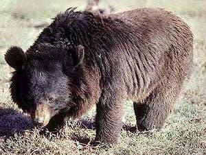 черный азиатский медведь, уссурийский медведь (Ursus thibetanus), фото, фотография