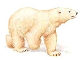 белый медведь, полярный медведь, ошкуй (Ursus maritimus), фото, фотография
