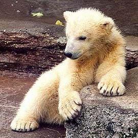 полярный медведь, белый медведь (Ursus maritimus), фото, фотография