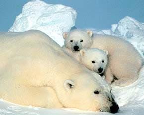 полярный медведь (Ursus maritimus), фото, фотография