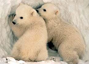 белый медведь (Ursus maritimus), фото, фотография