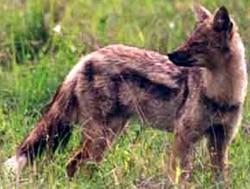 полосатый шакал, шакал полосатый (Canis adustus), фото, фотография