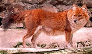 красный волк, дикая индийская собака (Cuon alpinus, Canis alpinus), фото, фотография