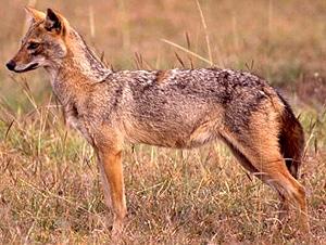�����, ������� �����, ������� (Canis aureus), ����, ����������