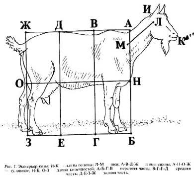 экстерьер козы, рисунок