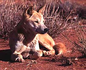 динго, австралийская дикая собака динго (Canis dingo), фото, фотография