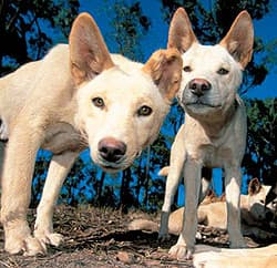 динго, динго австралийский (Canis dingo), фото, фотография