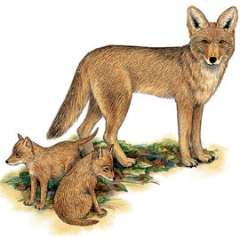 Койот луговой волк canis latrans рисунок