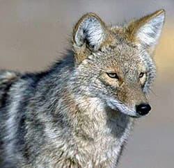 койот, луговой волк (Canis latrans), фото, фотография